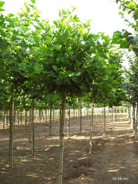 immergrüne bäume für den garten kugelplatane kaufen gro 195 ÿer baum kugel platane mr