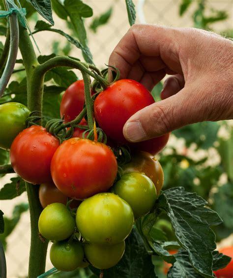 Tomaten Ernten 187 Wann Ist Der Beste Zeitpunkt