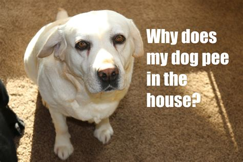 why dogs urinate in the house why does my dog pee in the house youtube
