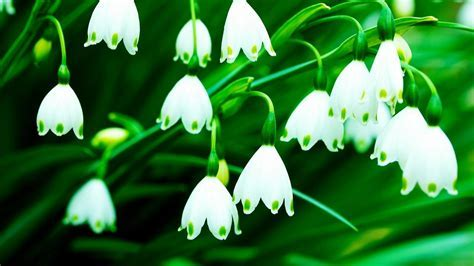 Flowers lily of the valley white wallpaper   (42131)