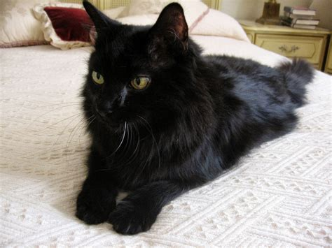Types Of Cat Hair by Image Gallery Hair Black Cat