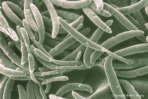 A Plant Disease - fusarium solani macronidia