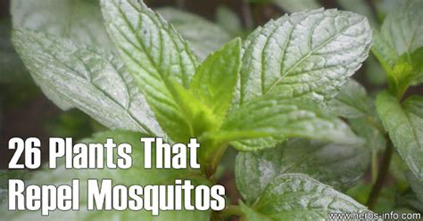 plants that repel mosquitoes 26 plants that repel mosquitos