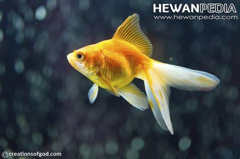 Pakan Ikan Koki Supaya Cepat Besar 4 makanan ikan koki supaya sehat dan cepat besar hewanpedia