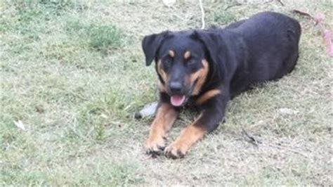 8 month rottweiler behavior reina 8 months a of rottweilers