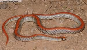 sofa orange county groundsnake sonora semiannulata reptiles of arizona