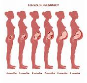 Stages Of A Baby During Pregnancy Illustration This