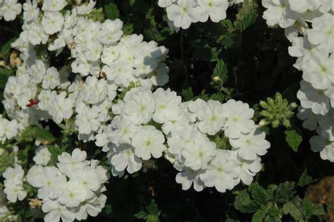 verbena shrub with white flowers empress flair white verbena verbena empress flair white