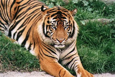 what are the different types of tigers living information and facts about tigers and types of tigers and where they come from