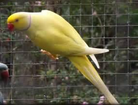 ringneck parakeet facts pet care temperament diet