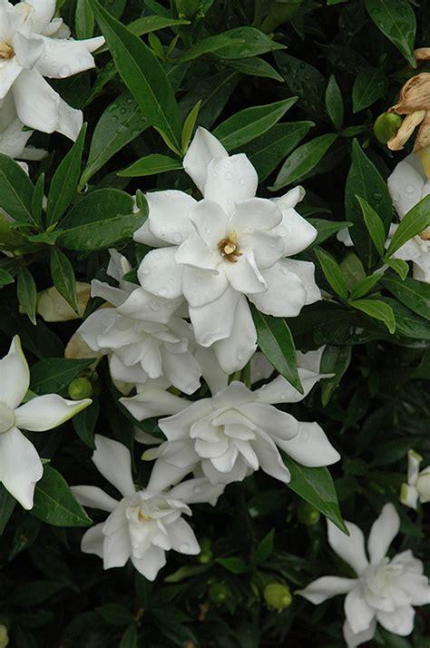 Gardenia Hardiness Proof Hardy Gardenia Gardenia Jasminoides