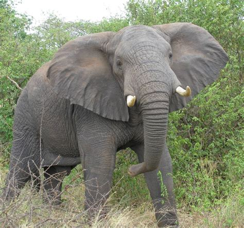african elephant facts the elephant innocent animal animals lover