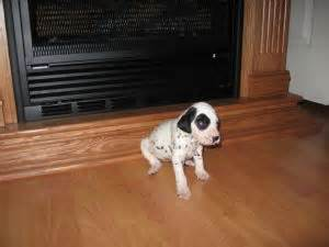 dalmatian puppies for sale in illinois dalmatian puppies for sale