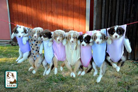 vr puppies australian shepherd puppies aussie puppies 7 weeks a flickr