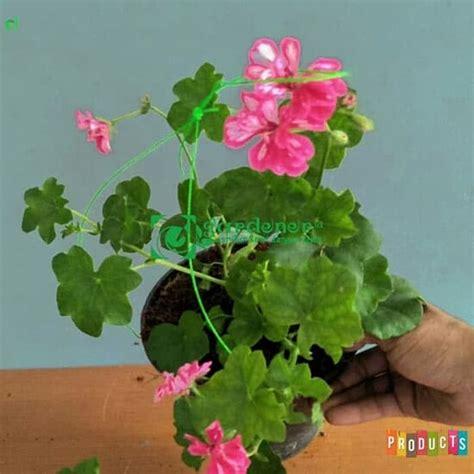 beli disini geranium bunga pink putih dijamin asli ibad