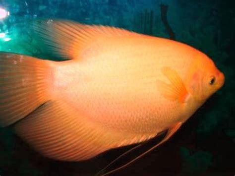 Harga Benih Ikan Gurame 2016 budidaya gurami budidaya ikan the knownledge