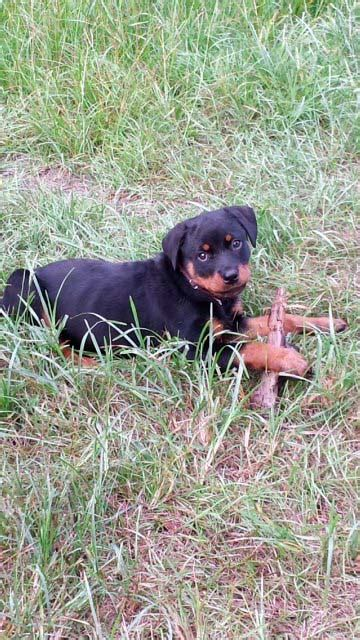 rottweiler breeders ga photo gallery archives rottweilers llc