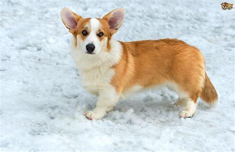 legged dogs 7 lovable legged breeds pets4homes
