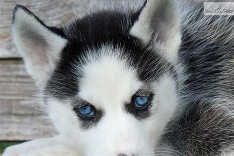 husky puppies virginia pomeranian mix with husky for sale in florida breeds picture