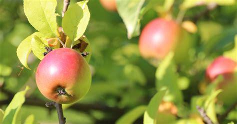 apfelbaum pflanzen wann apfelbaum pflanzen apfelbaum pflanzen so geht 39 s garten