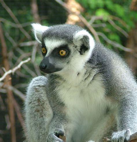 Hero4 Monkey ring tailed lemur explore akron zoo lemur exhibit