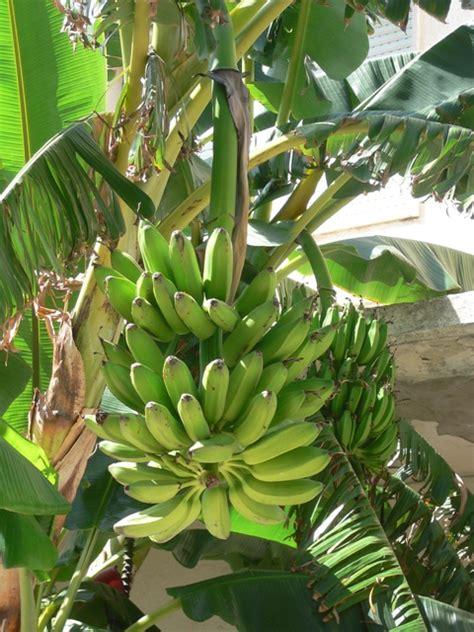 pianta di banana in vaso coltivare le banane 232 possibile anche in italia