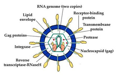 diagram of a typical virus hepatitis c the facts viruses retroviruses