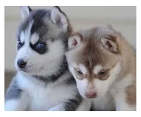 husky puppies for sale chicago chion teacup yorkie puppies animals chicago illinois announcement 35401