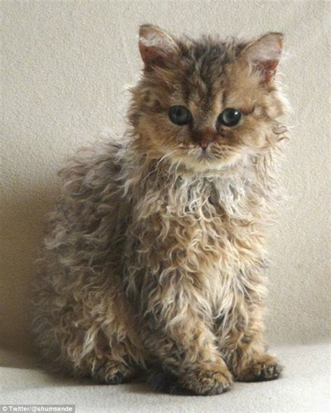 hairby minklittle cat with incredibly curly fur goes viral daily mail online