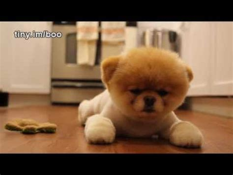 booyoutube all videos page 460 boo the world s cutest dog greatest hits all videos