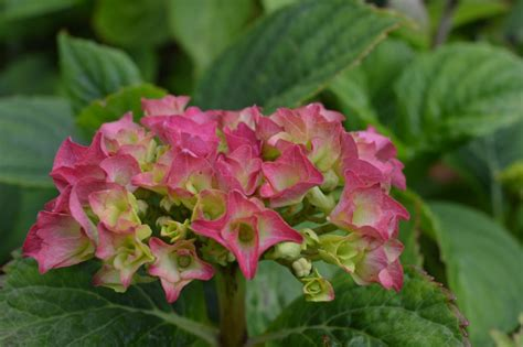 are hydrangeas poisonous to dogs a canines worst friend toxic garden plants for dogs and cats the circular