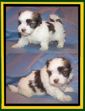 wheat state havanese pictures updated 4 24 2014
