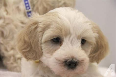 maltipoo puppies for sale in illinois maltipoo tennessee puppies breeds picture breeds picture