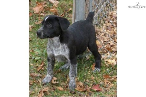 german shorthaired pointer puppies rescue german shorthaired pointer puppy for sale near battle creek michigan ca142c3d 7871