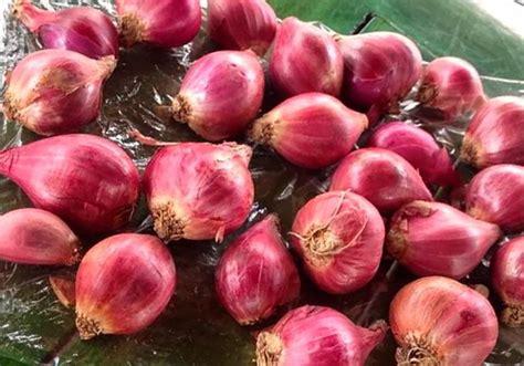 Www Bibit Bawang Merah 7 tahap mudah cara menanam bawang merah hidroponik sederhana