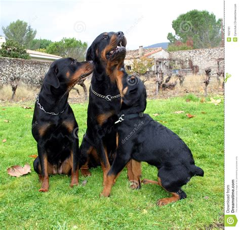 rottweiler as family rottweiler family stock image image of muscular guard 1822161