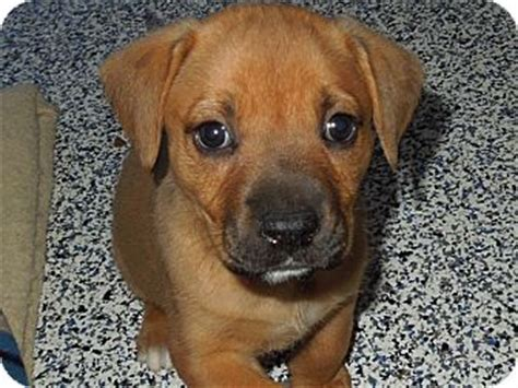 boxer lab puppies chocolate lab boxer mix puppies breeds picture