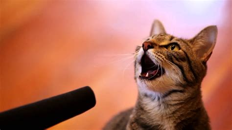 cat singing singing cat