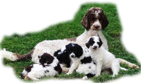 special needs puppies for sale apricot standard poodles and poodle puppies for sale family affair standards