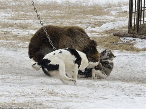 can dogs attacks chained to tree and being savaged by dogs in russian contest daily