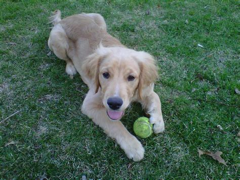 golden retriever mini past puppies 4