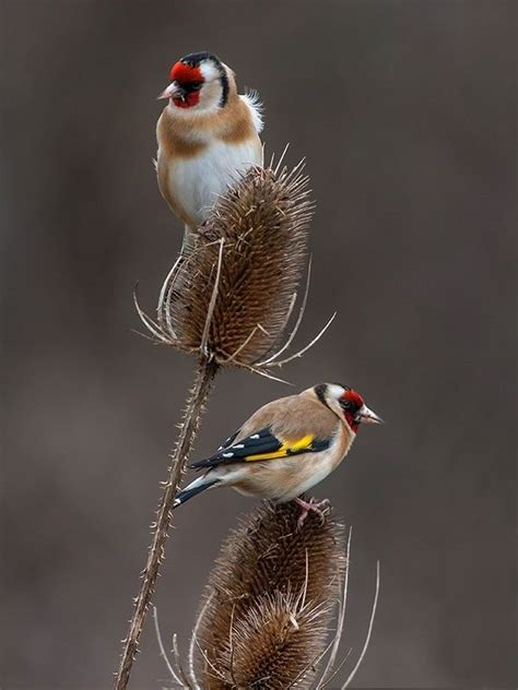 themes goldfinch best 25 goldfinch ideas on pinterest pretty birds