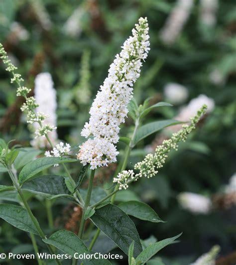 pearl butterfly bush buddleia  proven winners