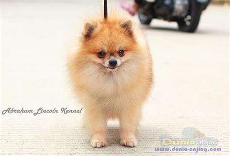 pomeranian stud service dunia anjing pejantan anjing pomeranian stud service