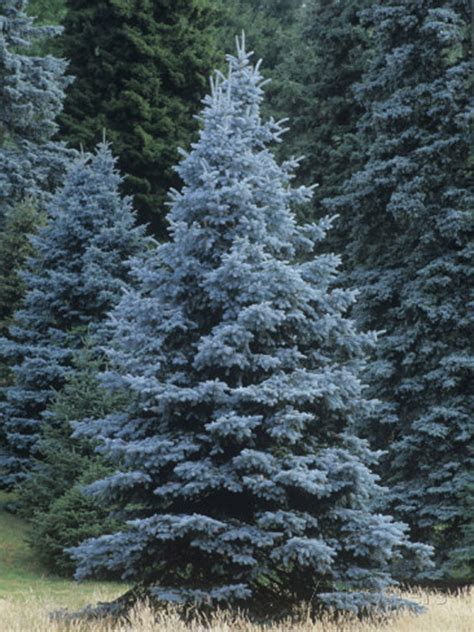 colorado blue spruce trees buy online at nature hills 50 x blue spruce picea pungens glauca tree seeds colorado