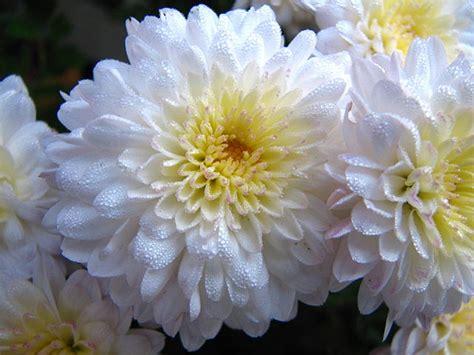 el crisantemo y la 8420653705 c 243 mo preparar un plaguicida de crisantemo y matricaria plantasparacurar com