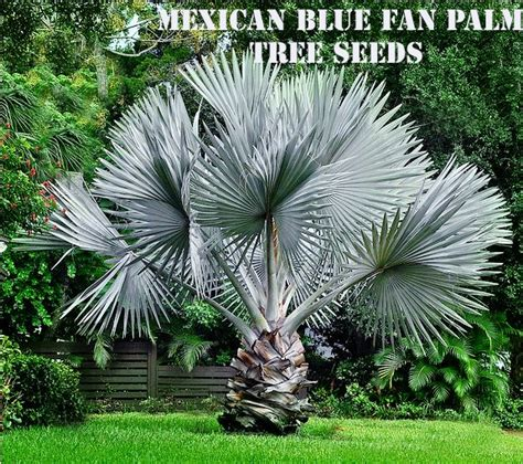 planting fan palm trees 10 mexican blue fan palm tree seeds