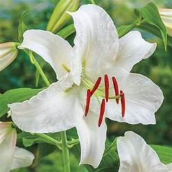 casablanca lilies casablanca brecks