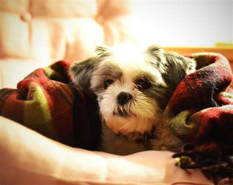 shih tzu sneeze 12 signs that your shih tzu may cancer page 3 of 6 shih tzu buzz