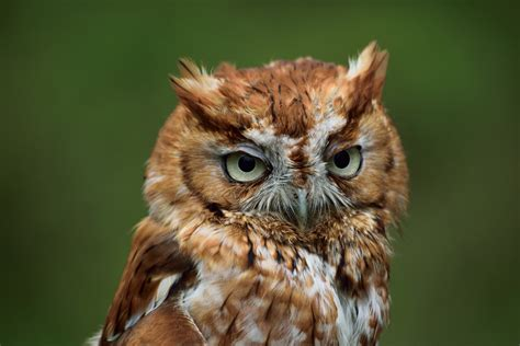bird screech owl photos hd wallpapers animals and birds